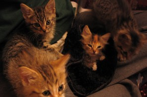Kittens being fostered before re-homing
