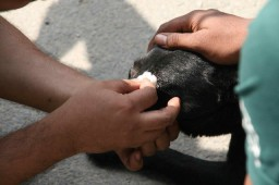 Treating eyes in village street dogs