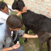 Sanctuary veterinarian, Dr Umesh, treats Palden.