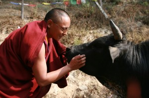 Tibetan monk greets a bull at an animal shelter, Nepal