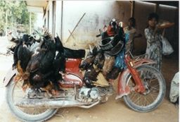 Live chickens on motorbike
