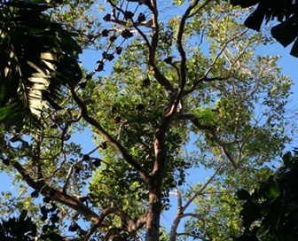 Tree with flying-foxes