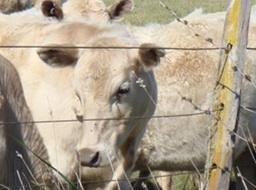 DSC05071-cow-crop-sm