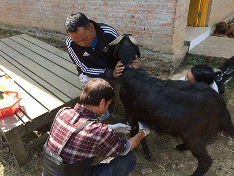 Dr Umesh Pema goat