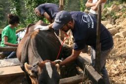 The international team treated a cow.