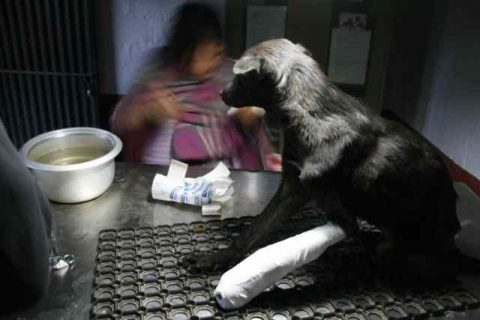 Rescued street dog has fracture treated