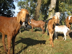 Rescued goats, Animal Liberation Sanctuary Nepal