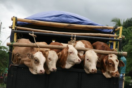 Calves being trucked, Indonesia