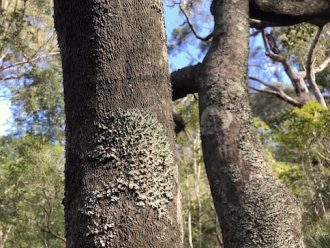 Lichen on mangrove tree