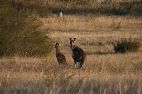 Kangaroos enjoy late afternoon sun.