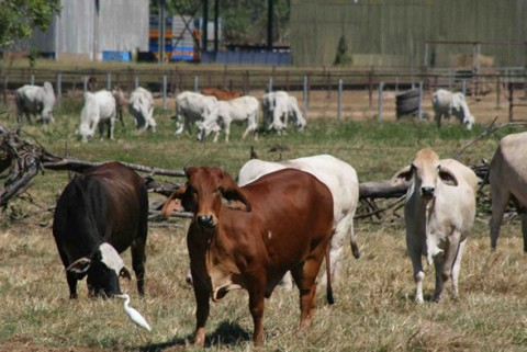 Cattle awaiting live export