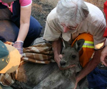 Dr Howard Ralph examines kangaroo fire victim