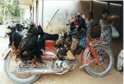 Live chickens on motorbike